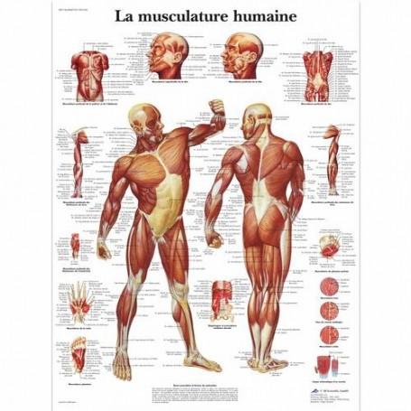 AFFICHE MUSCULATURE HUMAINE